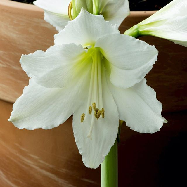 A white Amaryllis