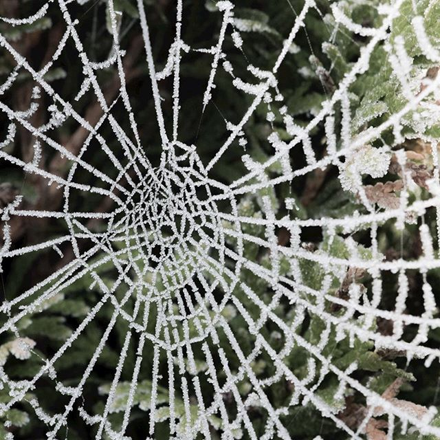 I saw a lot frozen spiderwebs in the last days on Instagram - so here is one of mine