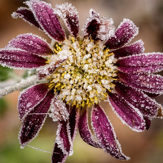 Yet another frozen flower