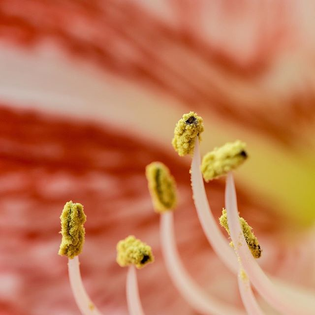 Anther of an amaryllis aka hippeastrum aka Ritterstern