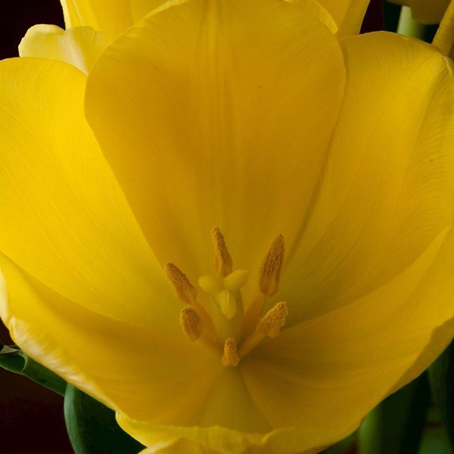 Yellow tulip (1/3)