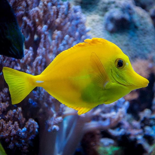 Gelber Segelflossendoktor, literally a yellow sail fin doctor