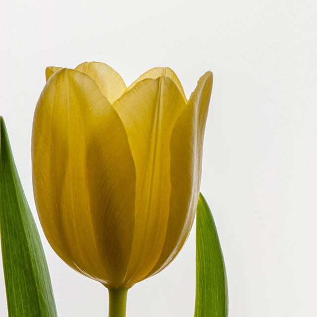 Yellow tulip (3/3)
