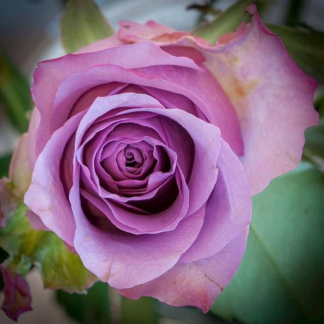 The purple rose of Sankt Magnus