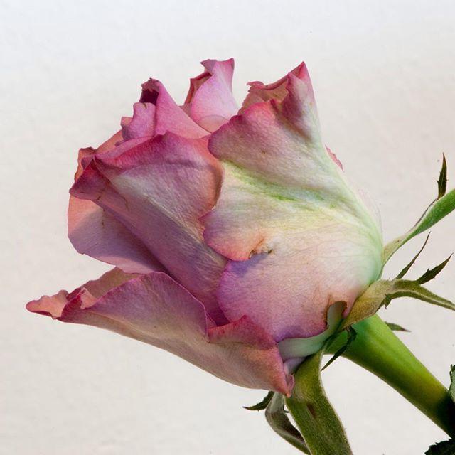 Das letzte Bild der Rose