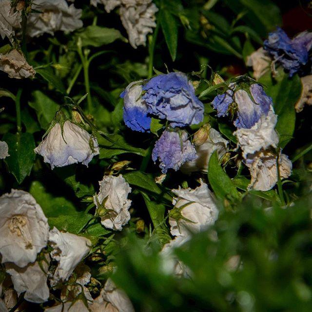 Verblühte Blumen