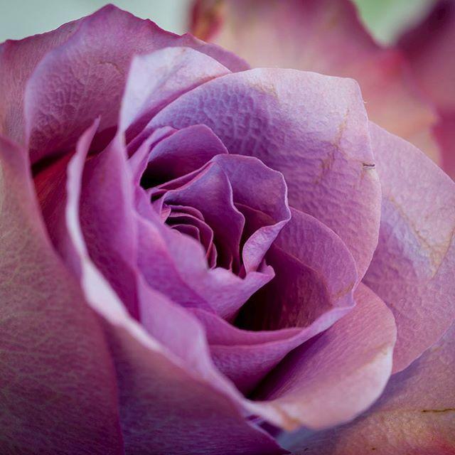 Die lila Rose