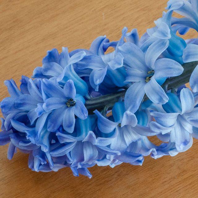 Blüten der Hyazinthe