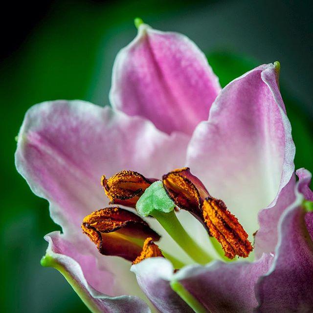 Ein Lilienbild