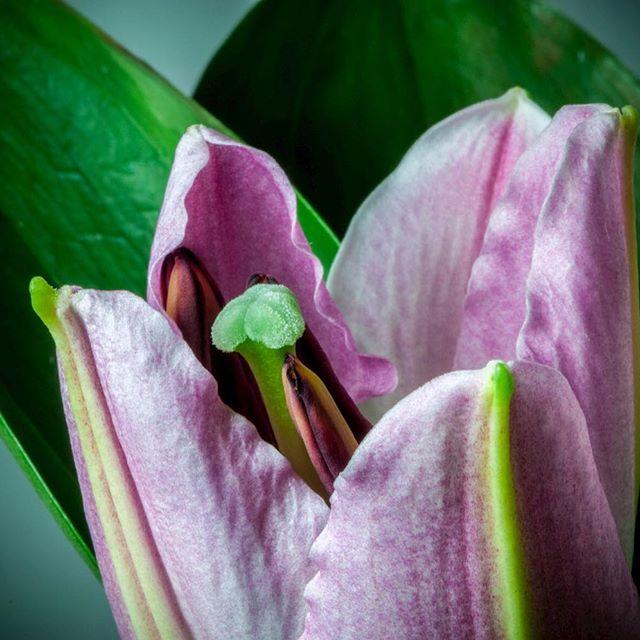 eine blühende Lilie
