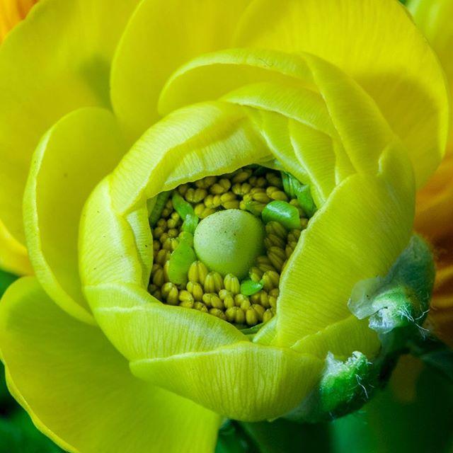 Blüte einer Ranunkel aka Hahnenfuss
