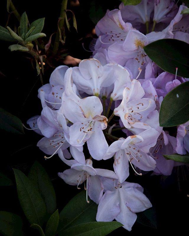Eine Rhododendron im Rosen-Ordner