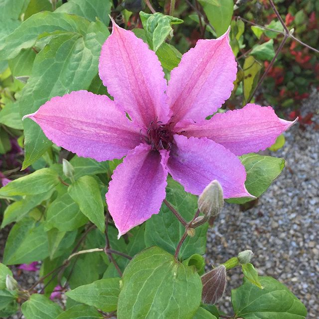 Clematis oder Waldrebe in lila